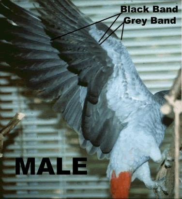 African Grey Sexing 78